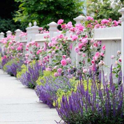 Gartenzaun mit durchwachsenden Rosen