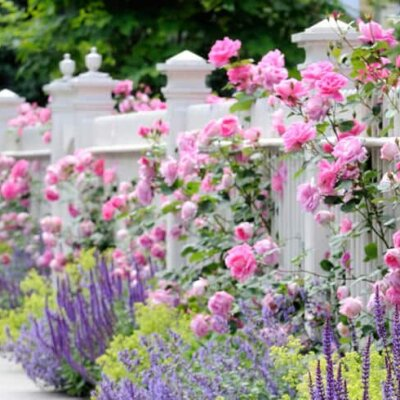 Rosen in zarten Pastell-Tönen am Gartenzaun