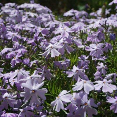 Stauden: Polsterflox in lila