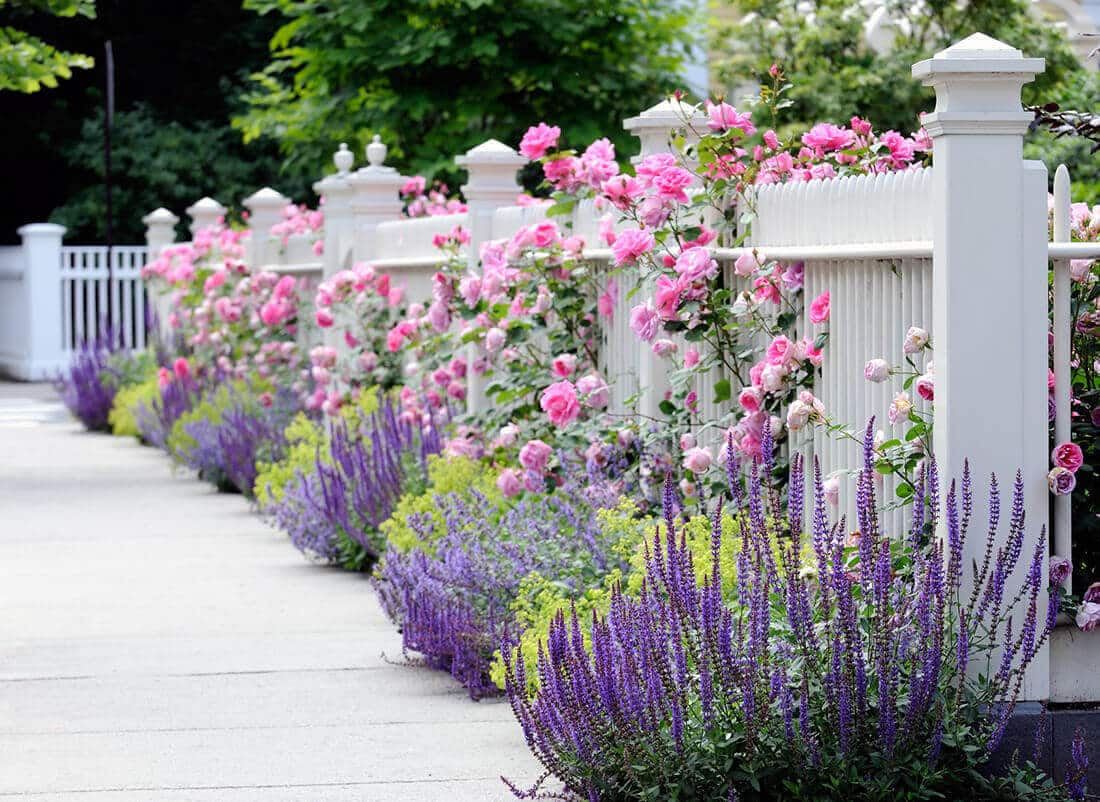 Ein weißer Zaun mit Lavendel und Rosen wirkt romantisch