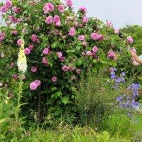 Rosenstrauch mit rosafarbenen Blüten