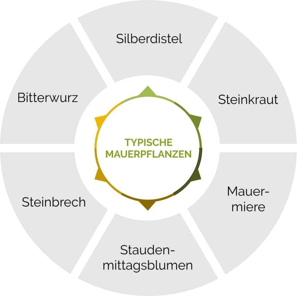 Typische Mauerpflanzen im Überblick.