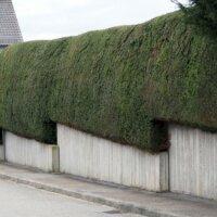 Immergrüne Hecke als Gartenumrandung