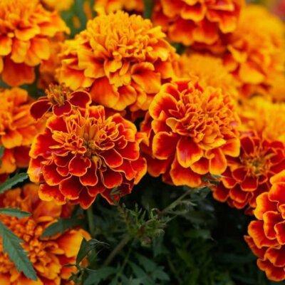 Studentenblumen (Tagetes) © Pixabay.de