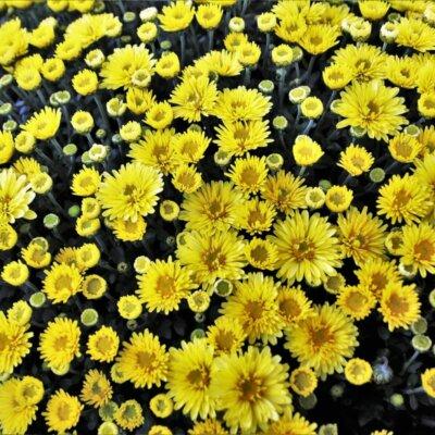 Chrysantheme im Staudengarten © Pixabay.de