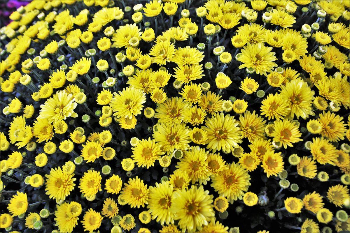Chrysantheme im Staudengarten