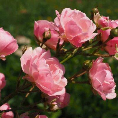 Rose © Pixabay.de