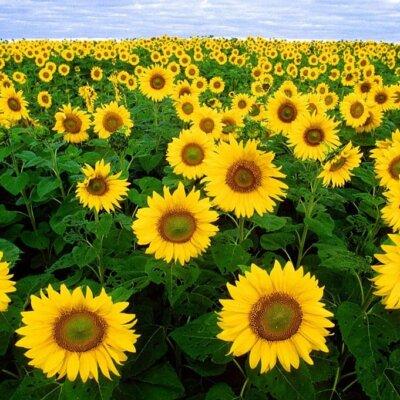 Sonnenblume © Pixabay.de