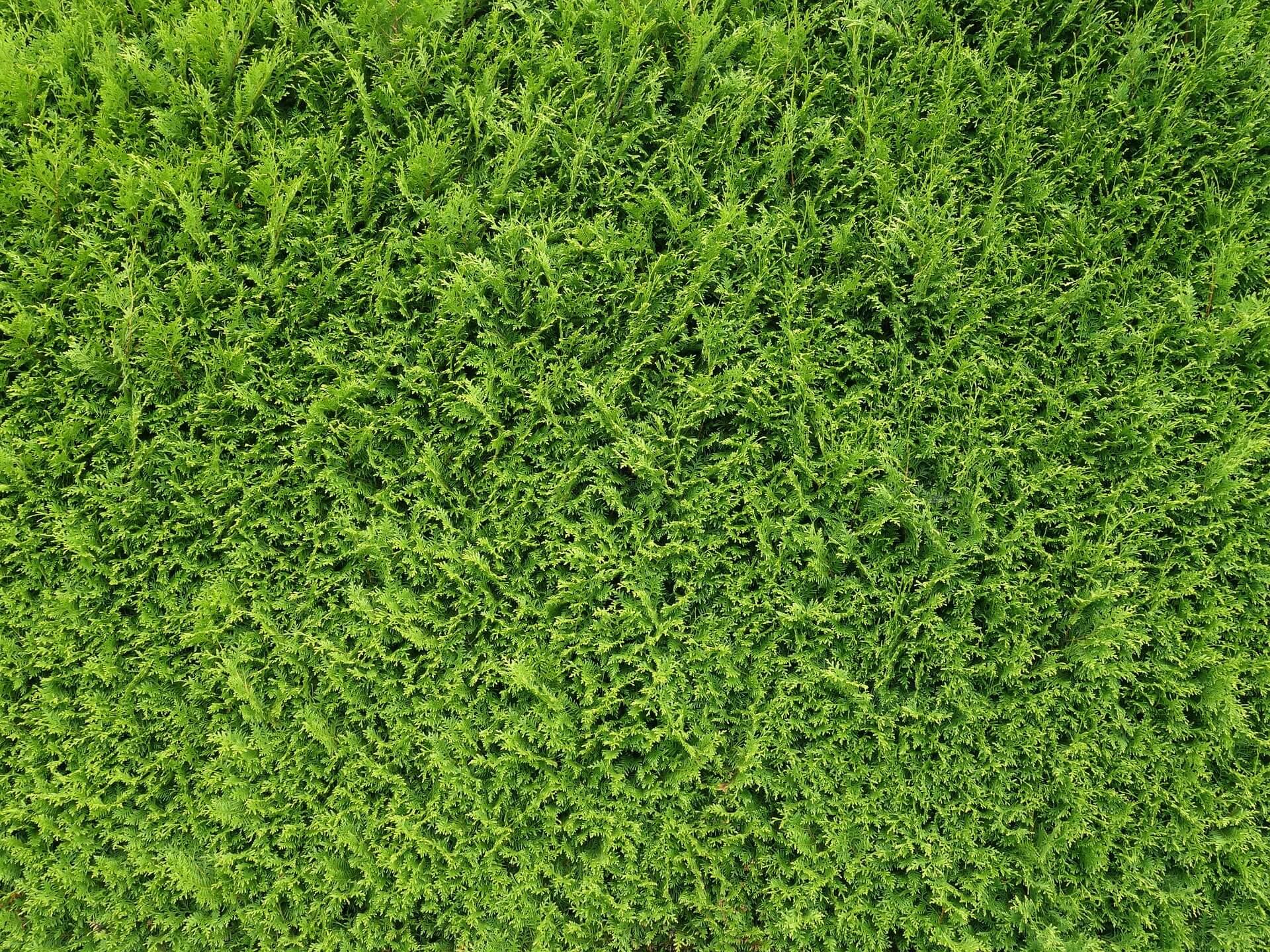 Top 10 Immergrune Garten Pflanzen Winterharte Hecke Straucher Co