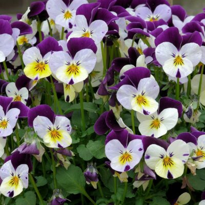 Stiefmütterchen (Viola) © Pixabay.de