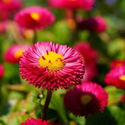 Gänseblümchen/Maßliebchen (Bellis)