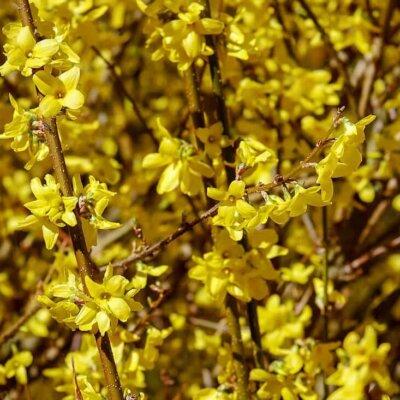 Goldglöckchen (Forsythie)