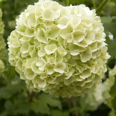 Schneeball (Viburnum)