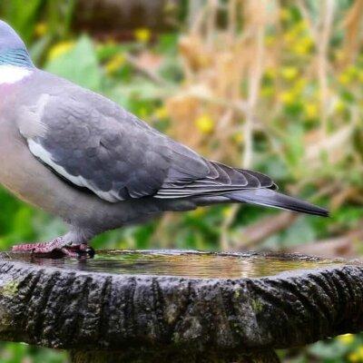 Kleine Vogeltränke mit einer Taube