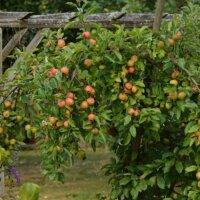 Apfelbäume können klein gehalten werden