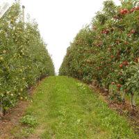Säulenbäume als platzsparende Obstlieferanten