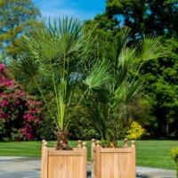 Große Palmen im mediterranen Stil