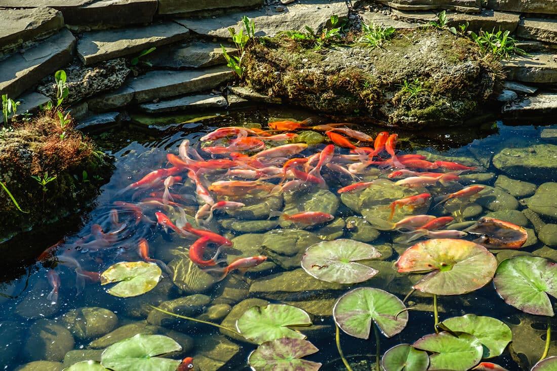 Koikarpfen im Flachwasser des Teichs
