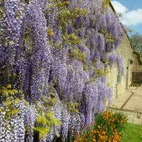 Blauregen im mediterranen Garten