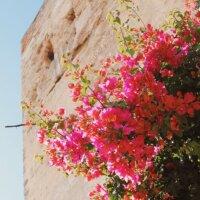 Rosa Drillingsblume auf Naturstein