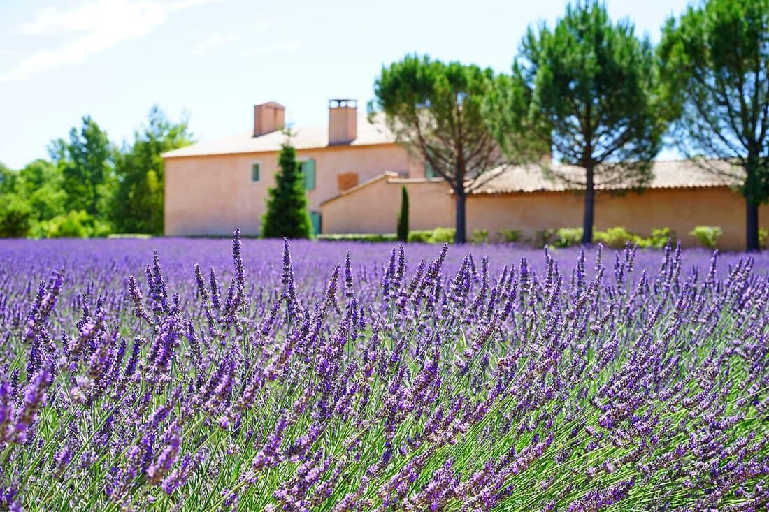 Lavendel ist eine der beliebtesten mediterranen Pflanzen.