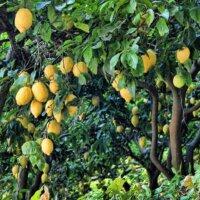 Zitrusbäume sind typisch für den mediterranen Garten