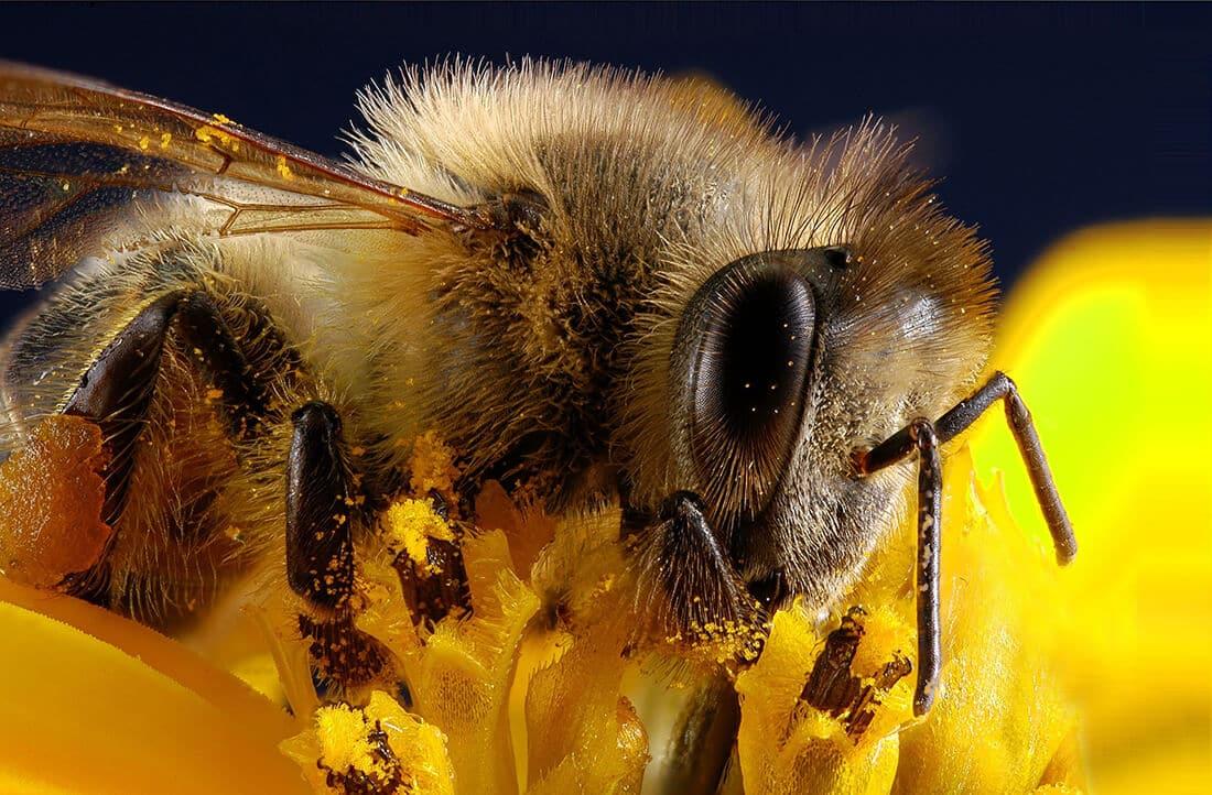 Biene Nahaufnahme