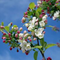 Bienen lieben Apfelblüten.