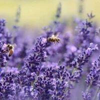 Bienen lieben Lavendel.