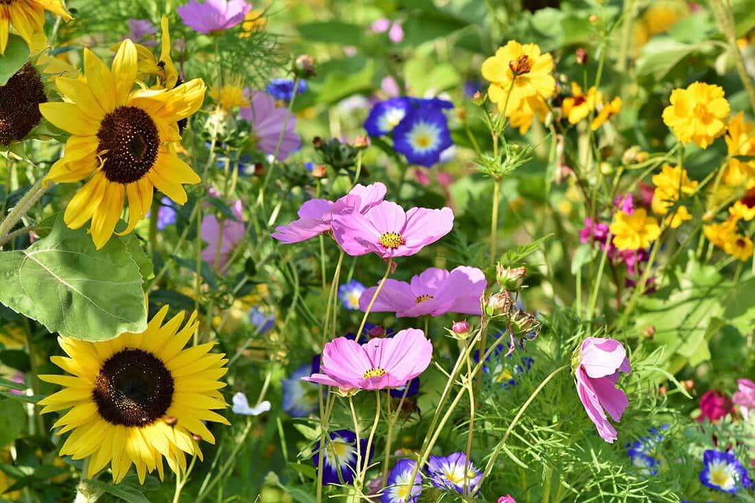 Bienenfreundliche Blumenwiese