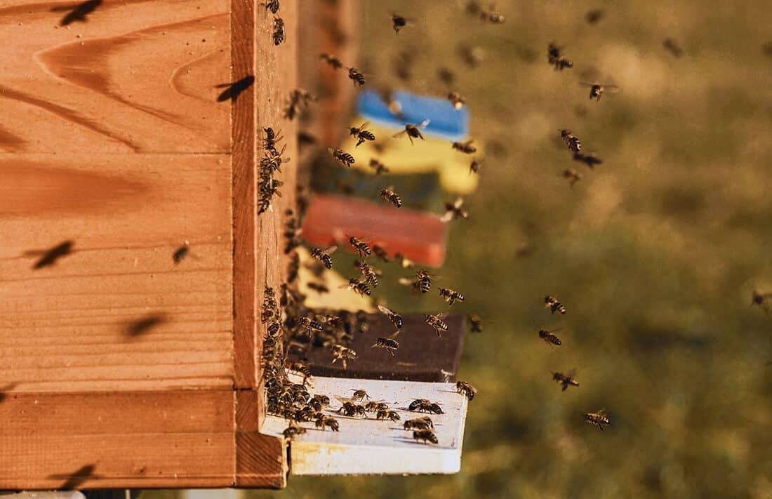 Bienenkolonie