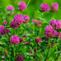 Blühender Klee dient als Nahrung für Bienen.