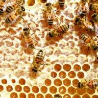 Haben Bienen genug Nahrung, produzieren sie Honig.