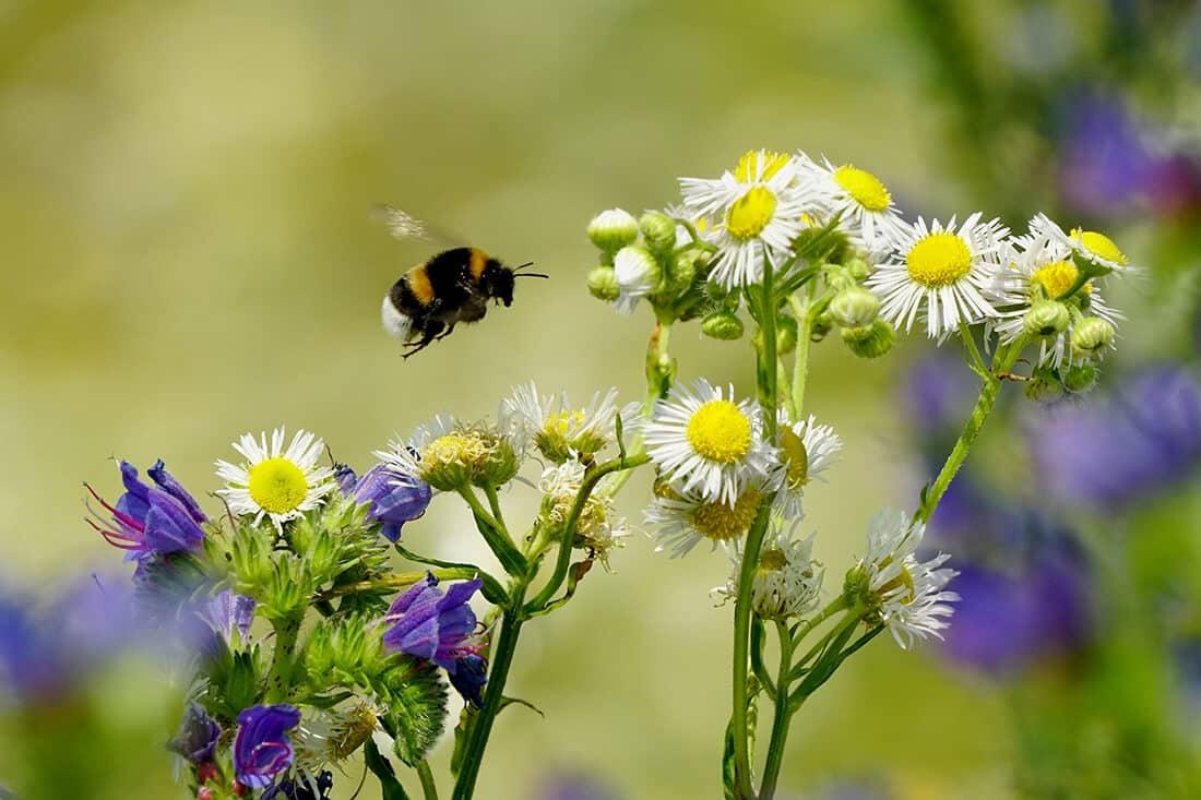 Bienenfreundliche Pflanzen Blumen & Sträucher für Garten