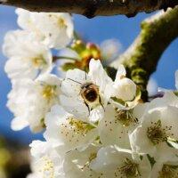 Kirschblüten sind nützlich für Bienen.