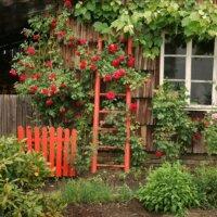 Kletterrosen an Gartenhauswand