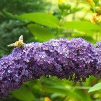 Sommerflieder ist ein Paradies für Bienen.