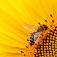 Sonnenblumen sind der Klassiiker im Bienengarten.