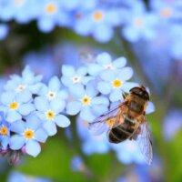 Vergissmeinnicht ist hübsch anzusehen und nahrhaft für Bienen.
