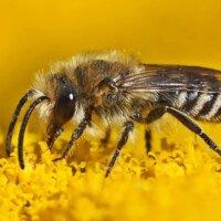 Von Nahem unterscheiden sich Bienen und Wespen deutlich.