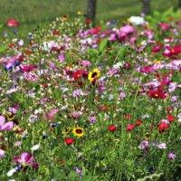 Wild blühende Wiesen sind das Paradies für Bienen.