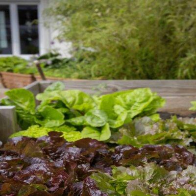 Hochbeete sind optimal für den Anbau von Salat geeignet © Pixabay.com