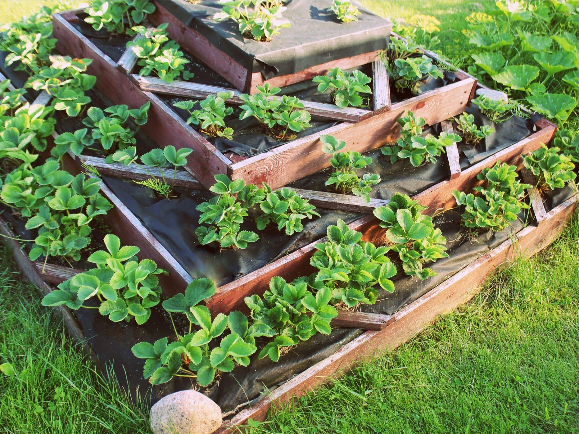 Erdbeeren in einem Stufenbeet © vaivirga - depositphotos