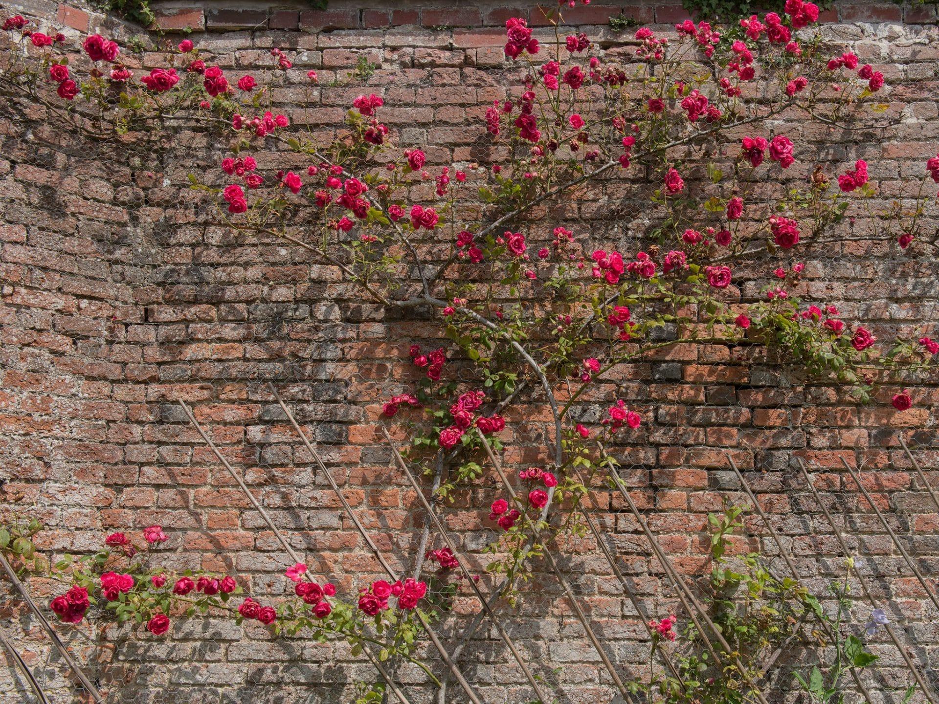innenhof_gestalten_wand_mauer_kletterpflanze_rose