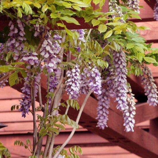 Blauregen mit schönen Blüten als Kletterpflanze für die Pergola © Pixabay.com