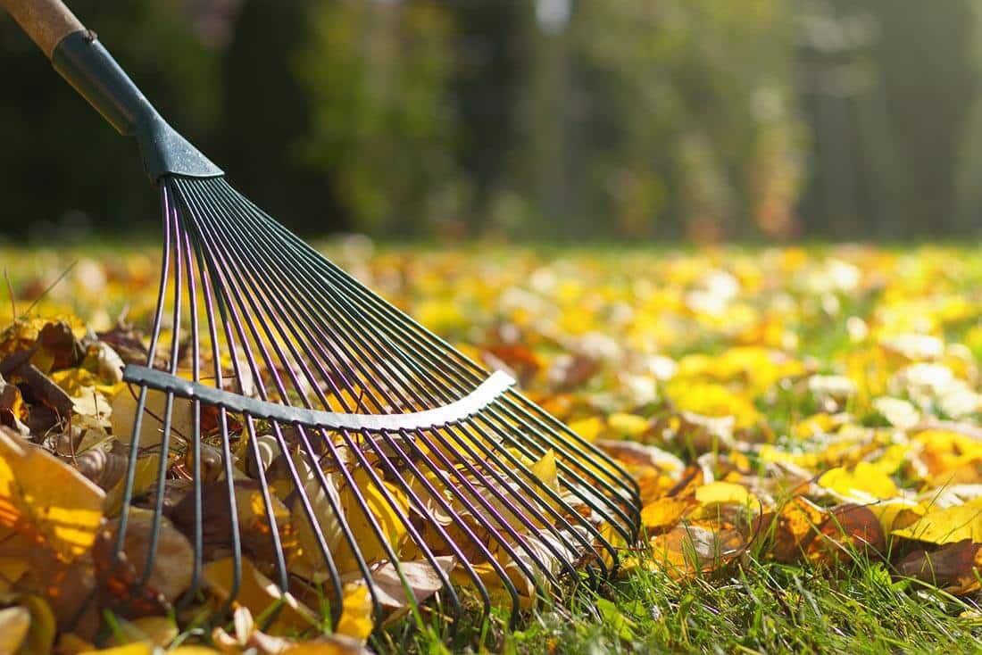 Im Herbst sollten Sie regelmäßig das Laub vom Rasen entfernen.