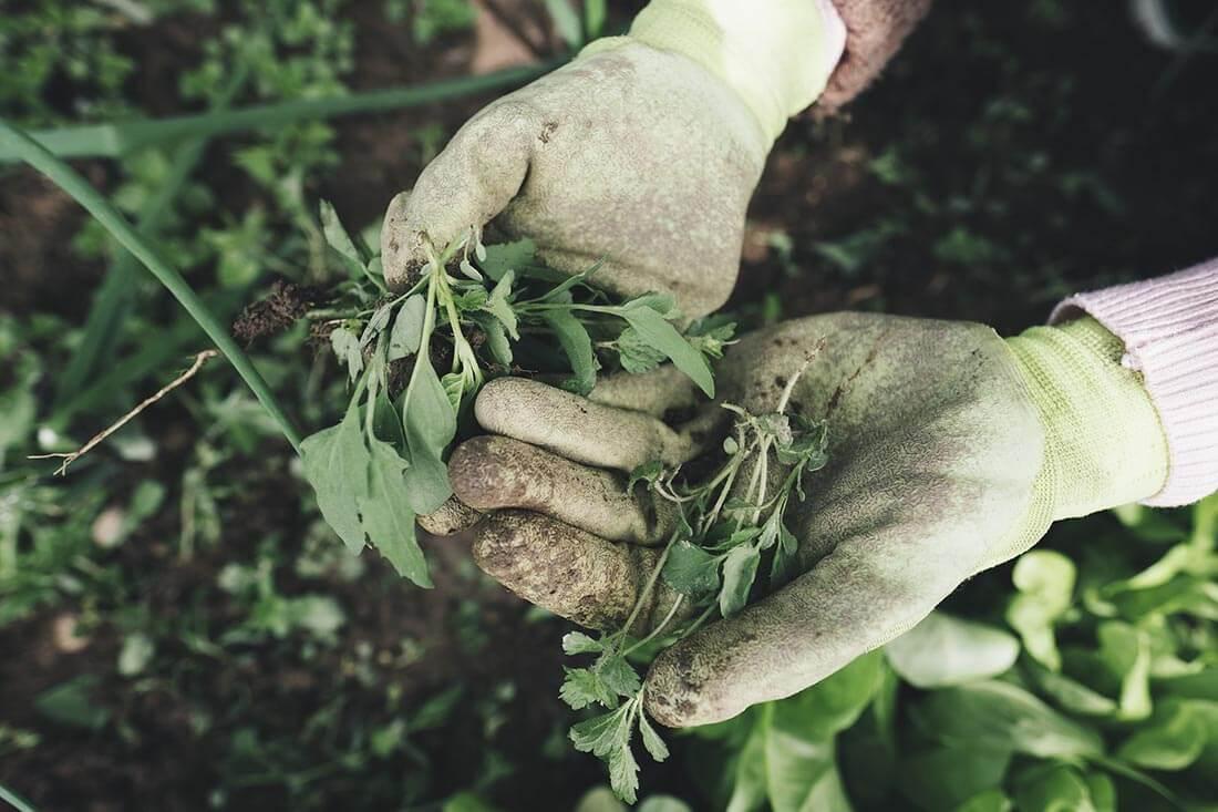 Rasen von Unkraut befreien