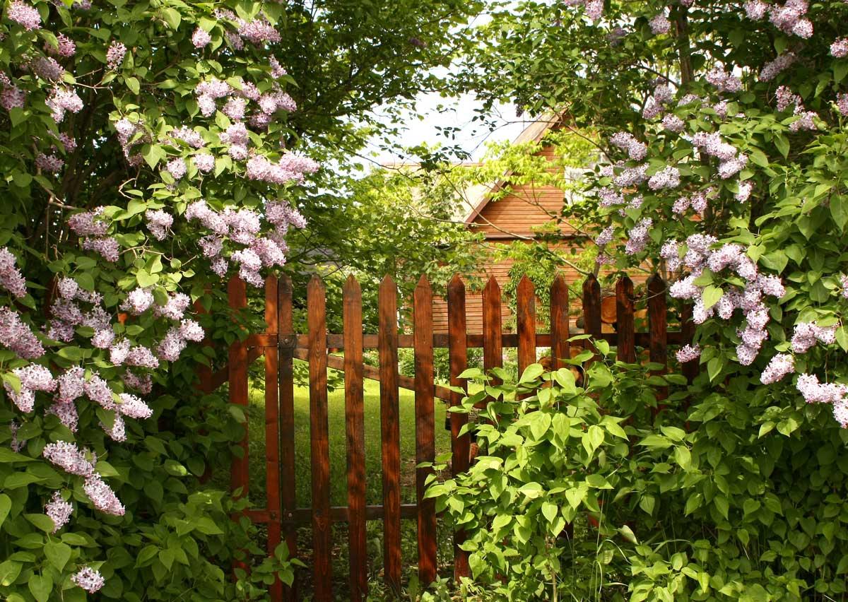 Flieder als Sichtschutz im Landhausgarten