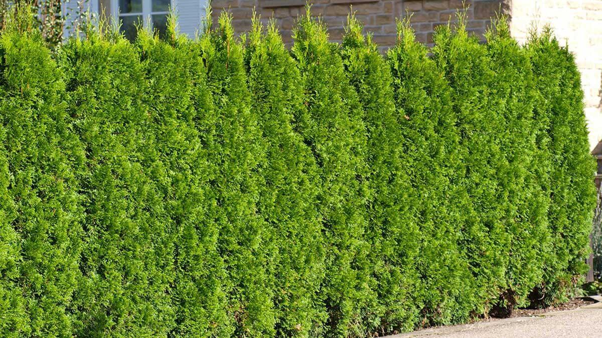 Thuja als natürlicher Terrassen-Sichtschutz