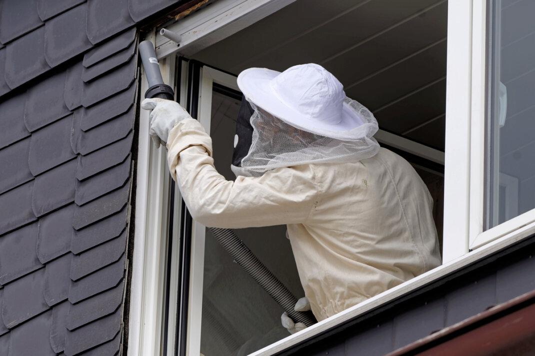 Entfernung eines Wespennestes am Fensterrahmen